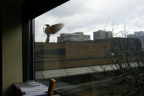 Bird flying into a window