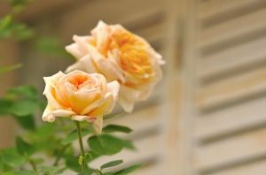 flowers in front of shutters
